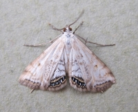 Small China-mark (Cataclysta lemnata)