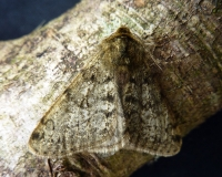 Pale Brindled Beauty (Phigalia pilosaria)