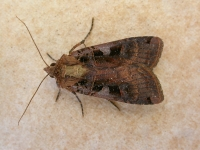 Triple-spotted Clay (Xestia ditrapezium)
