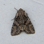 Pale-shouldered Brocade (Lacanobia thalassina)