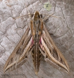 Silver-striped Hawk-moth (Hippotion celerio)