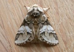 Marbled Brown Drymonia dodonaea