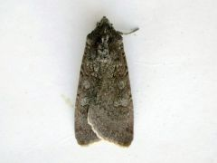Pearly Underwing Peridroma saucia