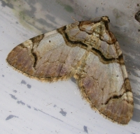 Streamer Anticlea derivata