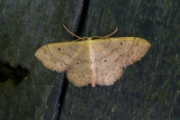 Small Fan-footed Wave (Idaea biselata)