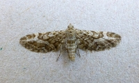 Narrow-winged Pug (Eupithecia nanata)