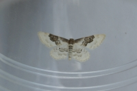 Least Carpet (Idaea rusticata)