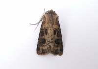 Heart and Club (Agrotis clavis)